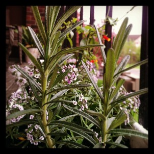 happy rosemary. my planter garden is off to a great start!