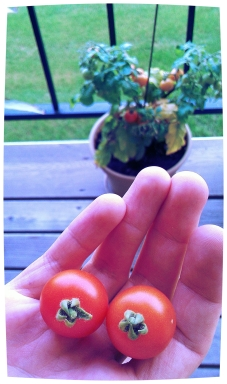 harvesting the first tomatoes from our planter garden!