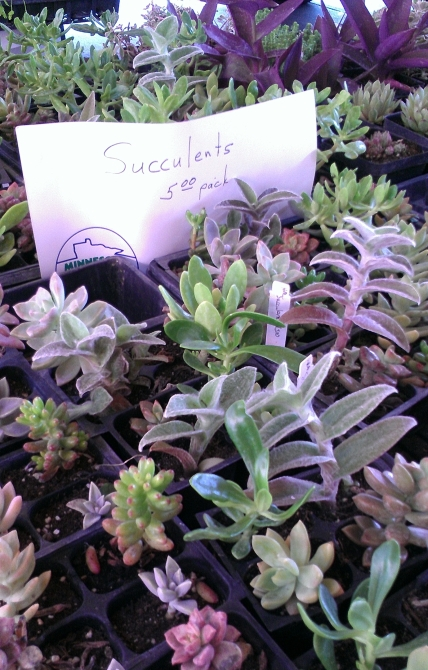 Huge table of succulents at the St. Paul Farmer's Market!
