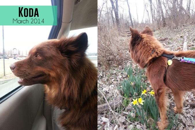 our chow chow dog, Koda